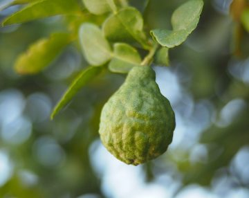 Essential Oil Encyclopedia: Bergamot
