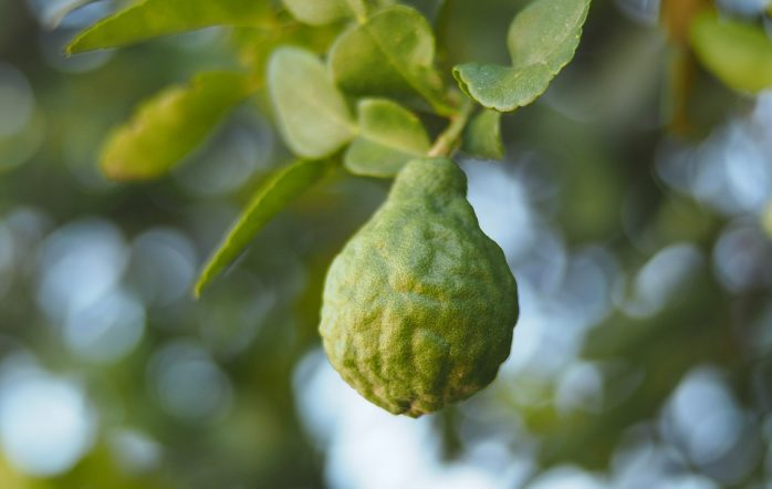Bergamot essential oil is derived from the bergamot orange, a fruit endemic to the Calabria region of Italy. You may already be familiar with its citrusy flavor--it is most notably used in Earl Grey tea! However, this isn